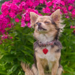 Dreaming chihuahua puppy in summer floral garden — Stock Photo #8849975