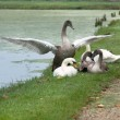 Stock Photo: Swans at lake