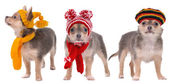 Three chihuahua puppies with scarfs and hats isolated on white background — Foto Stock