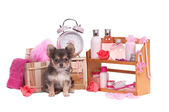 Shelf full of body care accessories and Chihuahua sitting in wooden backet — Stock Photo