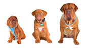 Group of the dogs of different size wearing different dog's accessorie — Stock Photo