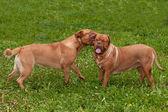 Dwóch psów dogue de bordeaux rasy gry w ogrodzie — Zdjęcie stockowe