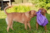 Two cheerful dog of French Mastiff (Dogue De Bordeaux) breed playing with b — Stock Photo