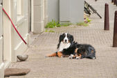 Berner Sennenhund having a rest on the pavement near house — Stock Photo