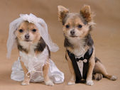 A male and a female chihuahua dressed as a bride and groom — Stock Photo