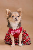 Chihuahua puppy wearing red chequered dress portrait — Stock Photo