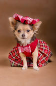 Chihuahua puppy wearing red chequered dress and cap — Stock Photo