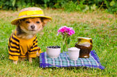 Small dog wearing suit and straw hat relaxing in meadow — Stock Photo