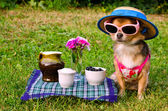 Tiny dog wearing yellow suit, straw hat and glasses relaxing in meadow — Stock Photo