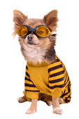 Small dog wearing suit and goggles — Stock Photo