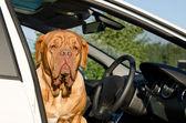 Ernstige stuurprogramma hond in de auto — Stockfoto