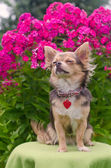 Dreaming chihuahua puppy in summer floral garden — Stock Photo