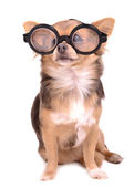 Cute chihuahua puppy with high diopter thick glasses — Stock Photo