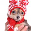 Portrait of 3 months old cute chihuahua puppy with amusing hat with pompons — Stock Photo
