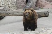 бурый медведь в зоопарке — Стоковое фото