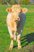 Cute white cow in a field, France — Stock Photo