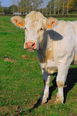 Beautiful white cow in the field — Stock Photo