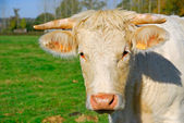 White cow muzzle — Stock Photo