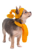 Chihuahua puppy with yellow funny hat and scarf isolated on white backgroun — Stock Photo