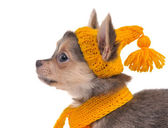 Portrait of chihuahua puppy with funny yellow hat and scarf — Stock Photo
