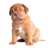 Niebieskooki ładny szczeniak — Zdjęcie stockowe