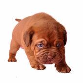 Eerste stappen van pasgeboren pup — Stockfoto
