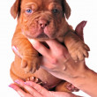 Stock Photo: French Mastiff puppy in woman's hands