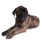 Sad bullmastiff puppy — Stock Photo