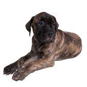 Sad bullmastiff puppy — Stock Photo