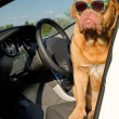 Dog driver inside the car — Stock Photo
