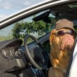 Dog driver — Stock Photo #9087499