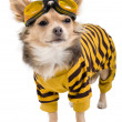 Chihuahua in yellow-black suit — Stockfoto