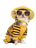 Chihuahua de verão — Foto Stock