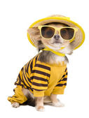 Summer chihuahua — Stock Photo