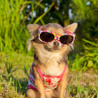 Chihuahua in the park — Stock Photo
