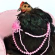 Glamorous chicken of Cochin China breed — Stock Photo