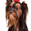 Splendid yorkshire terrier portrait — Stock Photo
