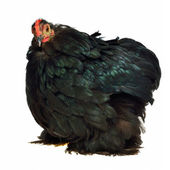 Black chicken of Cochin China breed — Stock Photo
