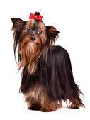 Piękne yorkshire terrier — Zdjęcie stockowe