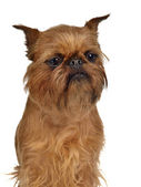 Brussels Griffon portrait — Stock Photo