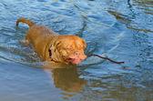 Bir sopa tutan yüzme köpek — Stok fotoğraf