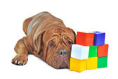 Dog with colorful cube bricks — Stock Photo