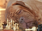 Dog on a chess board — Stock Photo
