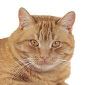 Portret kota imbir — Zdjęcie stockowe
