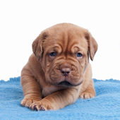 Wrinkled ppuppy on the carpet — Stock Photo