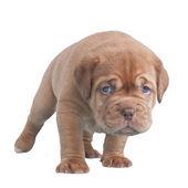 Dogue de bordeaux szczeniaka chodzenia — Zdjęcie stockowe