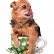 Little dog inside a cup, licking it's nose — Stok fotoğraf