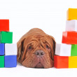 Tired dog and cube brick towers — Foto Stock