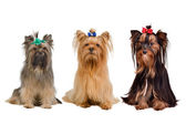 Three Yorkshire terrier dogs — Stock Photo
