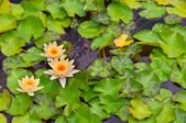 Water lilies in a pond — Stock Photo